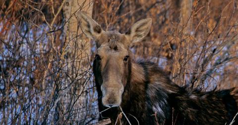 Moose Riding Mountain National Park during Earth Rhythms Photo Safari