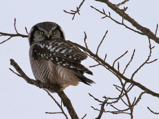 Northern Hawk Owl - Riding Mountain biosphere reserve