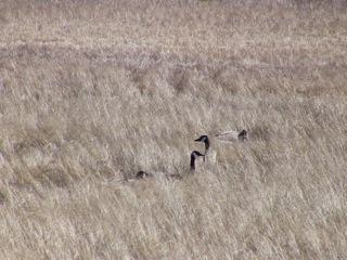 Canada Geese, Onanole, Manitoba