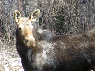 Young moose watchful at a mineral lick