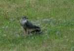 Merlin on ground with robin
