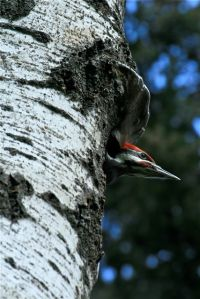 Pileated woodpecker in aspen tree nest