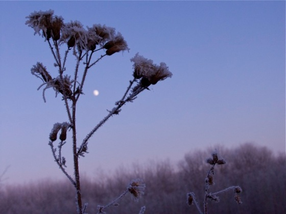 Hoar Frost on Thistle, Riding Mountain National Park
