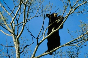 Black bear cub in aspen tree