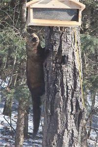 Fisher climbs poplar