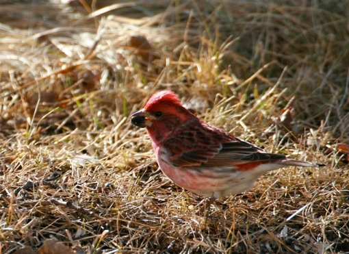 Purple Finch male eating seed